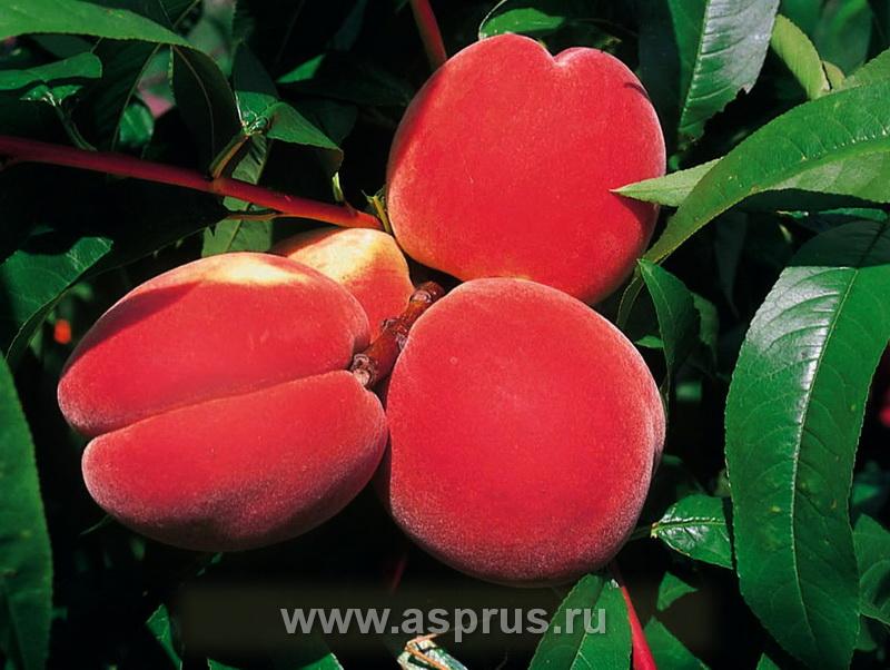 персик, сортимент персика, купить, саженцы, Инка