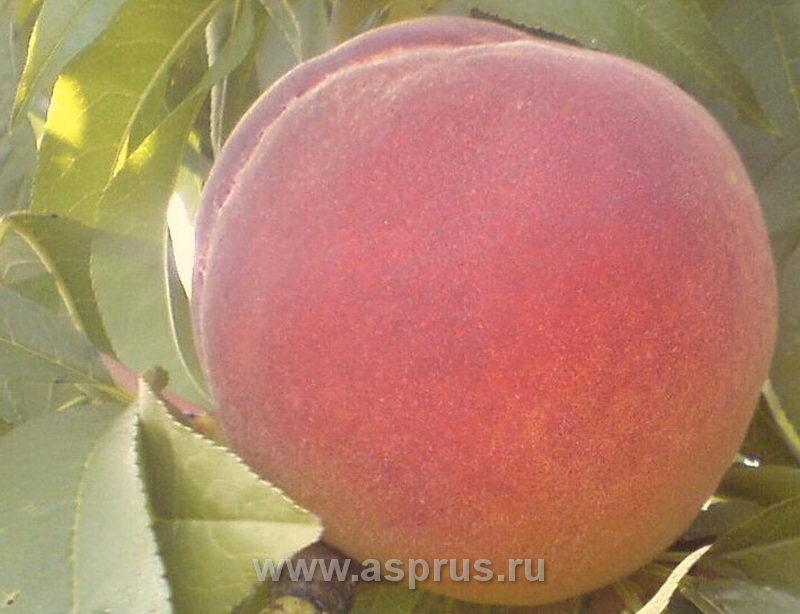 персик, сортимент персика, купить, саженцы, Ред Хавен