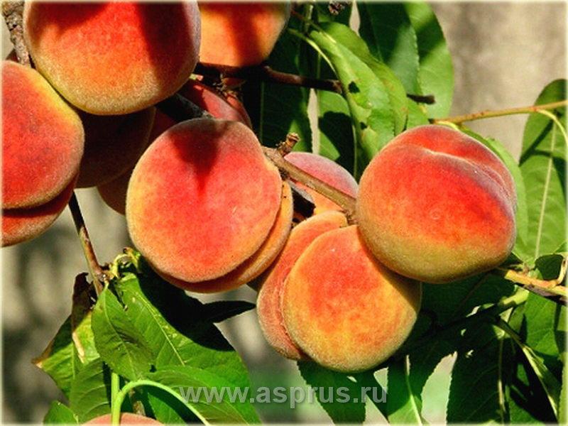 персик, сортимент персика, купить, саженцы, Регалайс