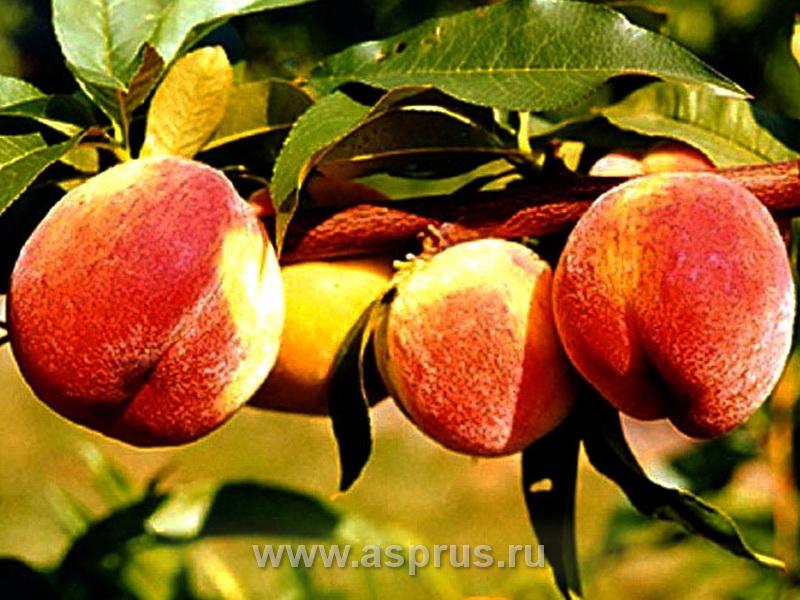 персик, сортимент персика, купить, саженцы, Вулкан