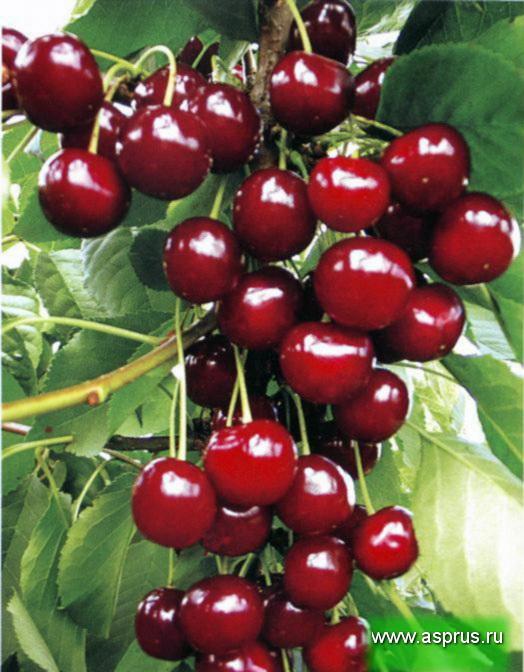 Плодоношение интенсивного сорта вишни
