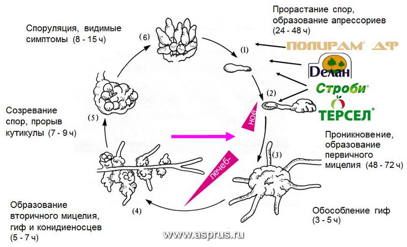 Цикл развития гриба Venturia inaequalis