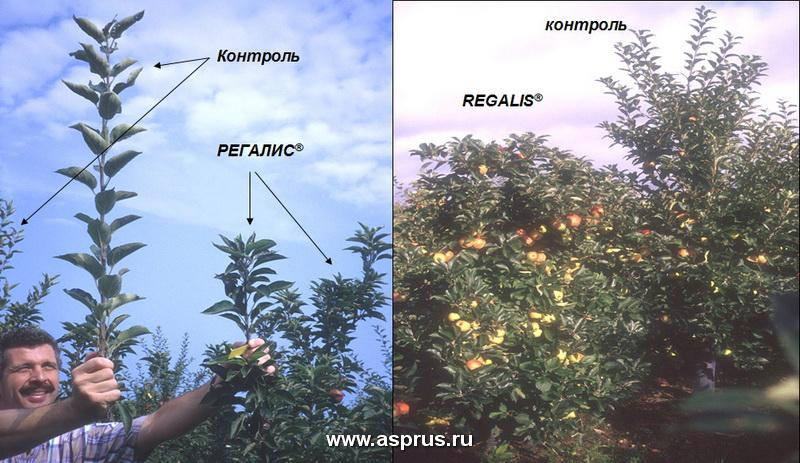 Сравнение веток яблони при обработке препоратом РИГАЛИС™ с необработанными