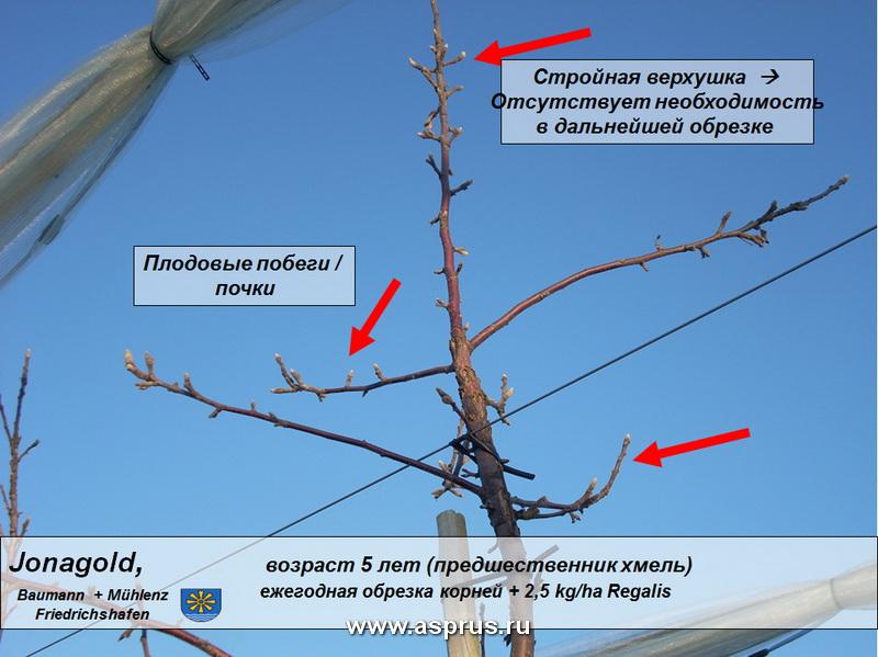 Пример применения препората РЕГАЛИС™ на сорте Jonagold с описанием