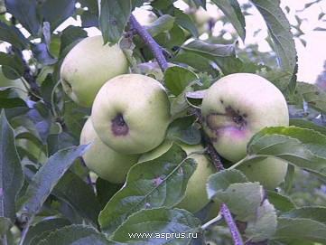 Цветы и развивающиеся плоды крайне восприимчивы к парше!