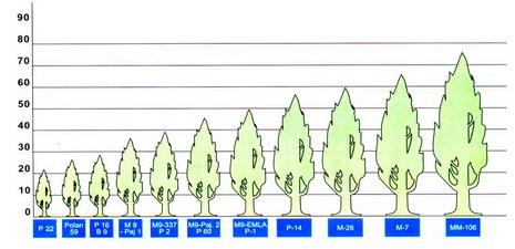 График 1.  Сила роста деревьев на различных подвоях