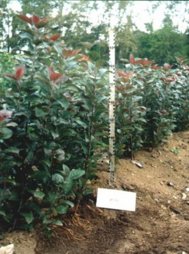 Фото 3. Карликовый вегетативный подвой Р 59