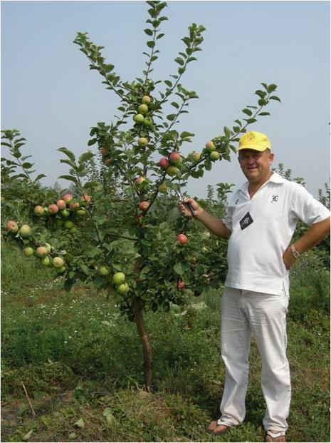 Фото 3. 4-х летнее дерево яблони сорта Орлик
