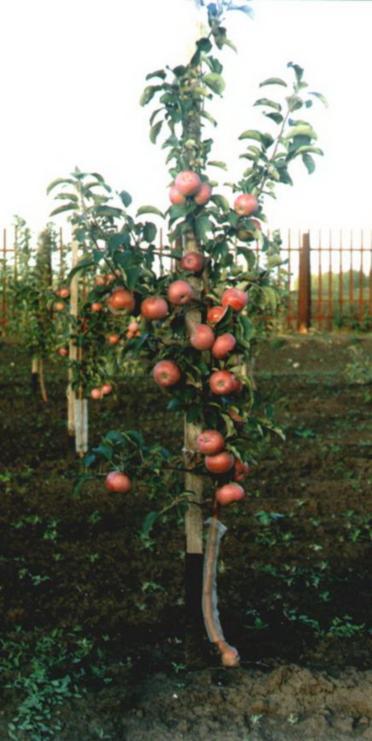 Яблоня подарок графскому на карликовом подвое отзывы 16