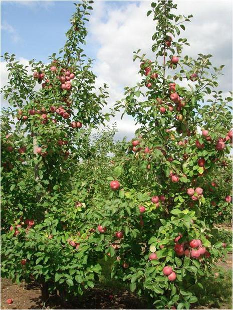 Фото 2. Плодоношение 6-летних деревьев яблони сорта Лобо
