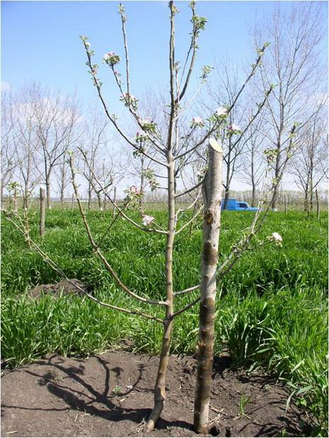 Фото 4. Посаженное дерево яблони на подвое ММ-106
