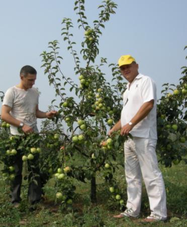Фото 10а. 6-летние деревья яблони сорта Ветеран на подвое 54-118