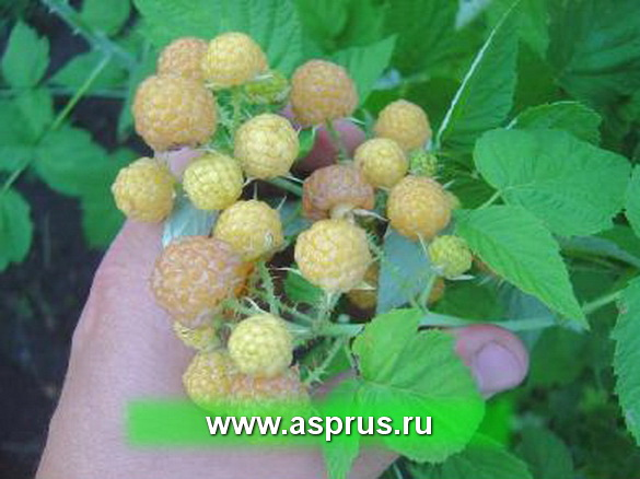 Малина черная:новая ягода (Сердюк)