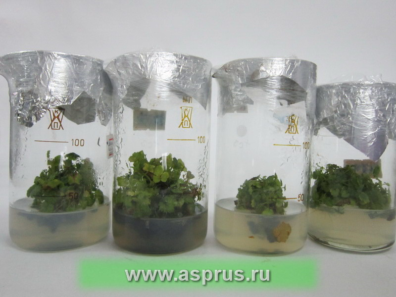 Размножаемые растения малины на питательной среде в стеклянной посуде
