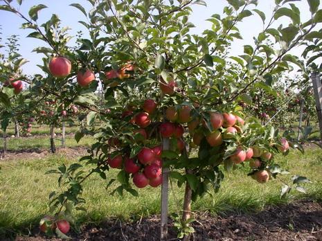 Фото 6а. Плодоношение яблони сорта Лигол на подвое Р60