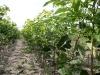 Саженцы вишни на третьем поле питомника