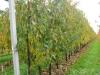 Интенсивный вишневый сад на шпалере