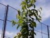 Формирование кроны вишни в интенсивных садах (фото Карой Хротко)
