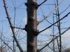 Крона вишни в интенсивных садах (фото Карой Хротко)
