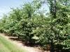 Современный вишневый сад