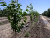 Орошение вишни в интенсивном саду