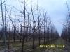 Схема размещения деревьев вишни в интенсивном саду
