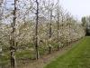 Интенсивный вишневый сад (фото Карой Хротко)