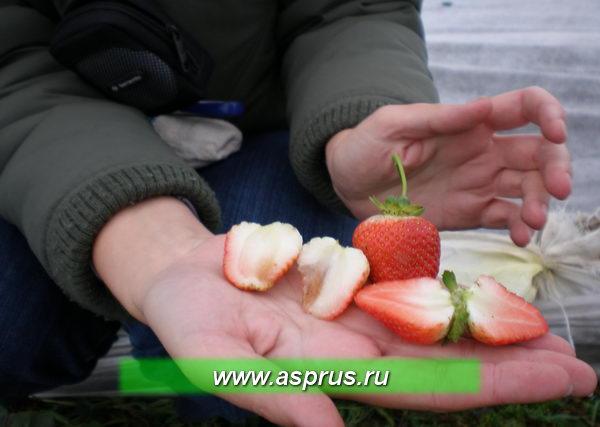 Ягоды сорта Сельва после заморозков