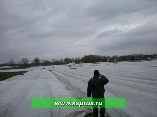 Плодоносящая плантация земляники, укрытая агроволокном для защиты насаждений от неблагоприятных условий зимнего периода