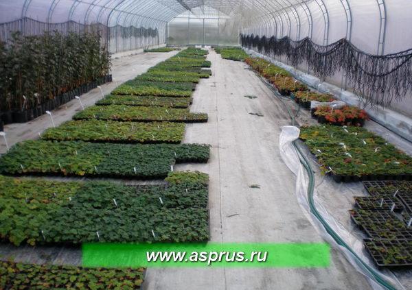 Гибридные образцы растений земляники