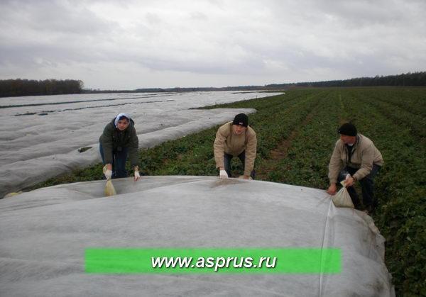 Укрытие товарной плантации земляники агроволокном