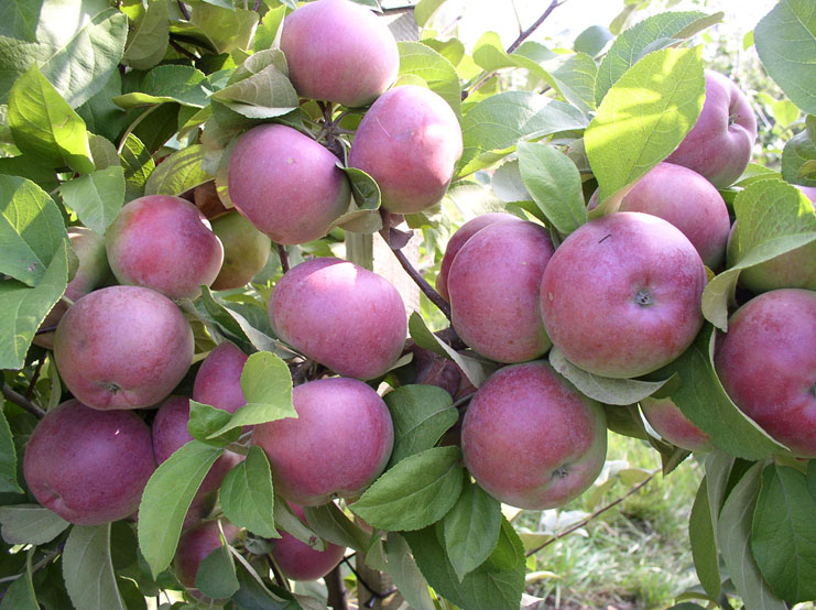 яблоня фармел описание фото отзывы