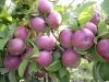Высокие потребительские и товарные качества плодов в интенсивных насаждениях яблони