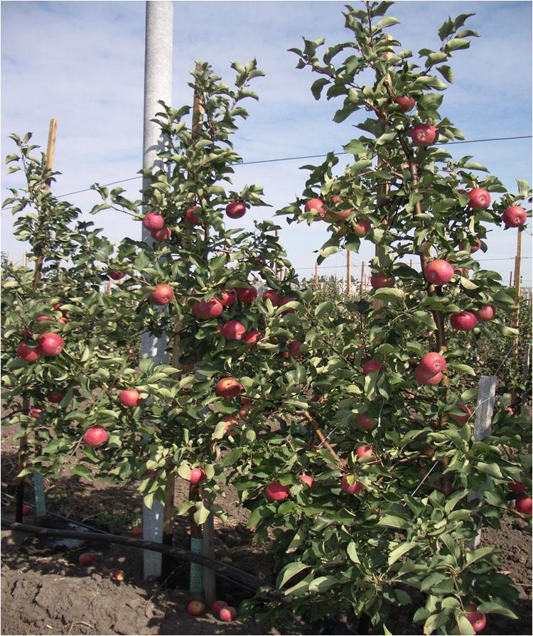 Высокопродуктивные сорто-подвойные комбинации яблони в интенсивном саду