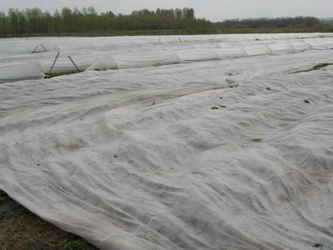 Укрытие интенсивных насаждений земляники агроволокном для предотвращения повреждениями низкими отрицательными температурами в осенне-зимний период и раннего получения урожая