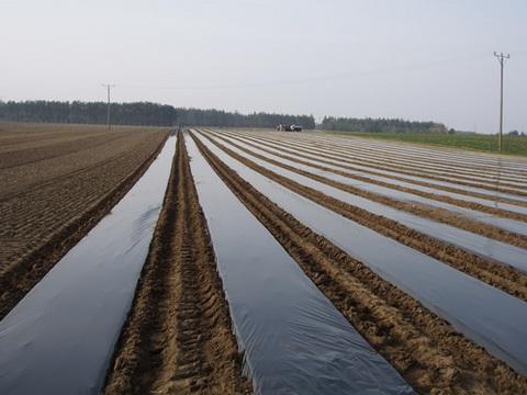 Мульчирующая пленка на участке для посадки рассады земляники