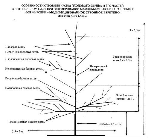 Рис. 1. Схема структуры плодового дерева при формировании малообъемной кроны в современном интенсивном саду с однострочно-уплотненной посадкой со схемами размещения деревьев 5-4 х 1,5-2 м на примере  формировки – модифицированное стройное веретено.