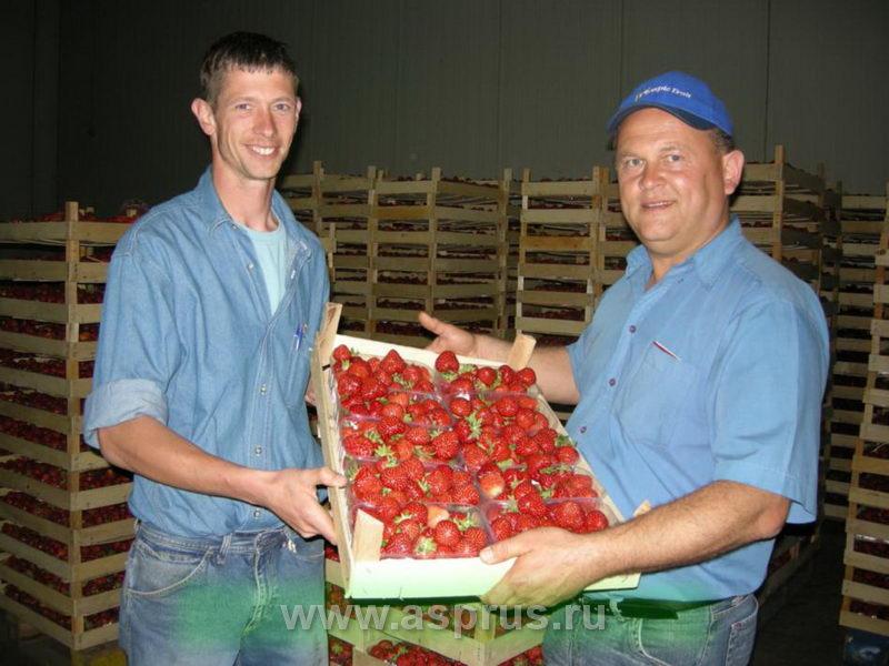 """Штейн Гёртц (руководитель компании \""""Poland Plants\"""", Польша) и председатель АСП-РУС Муханин Игорь демонстрируют отличное качество ягод земляники."""