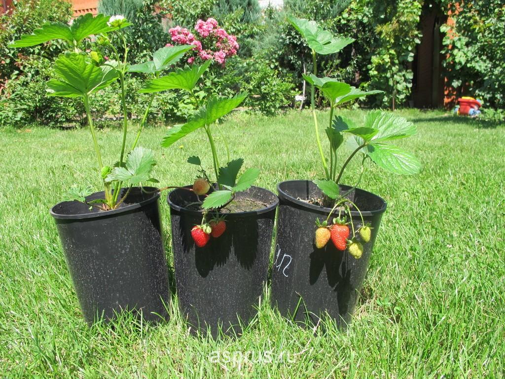Выращивание и уход за фацелией