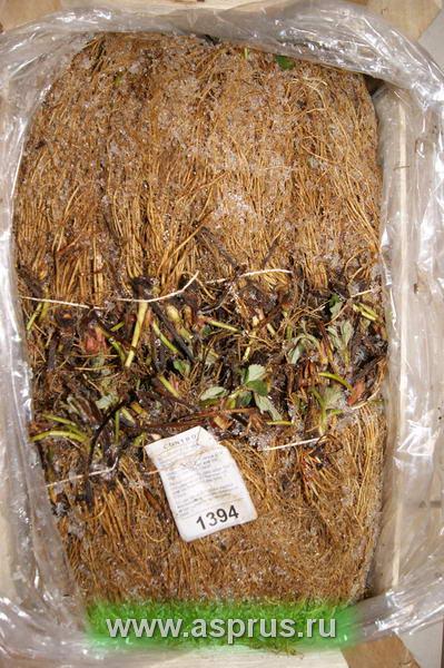 Выращивание рассады клубники фриго 12