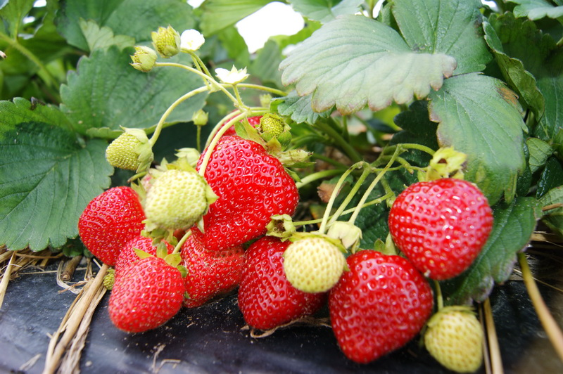 Обильное плодоношение растений земляники, посаженных по четырехстрочной системе на мульчирующей пленке