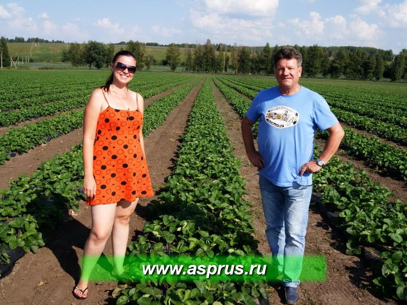 Рис.3 – Пример плантации земляники с  четырехстрочной системой  посадки в ООО «Плава» (Тульская область)