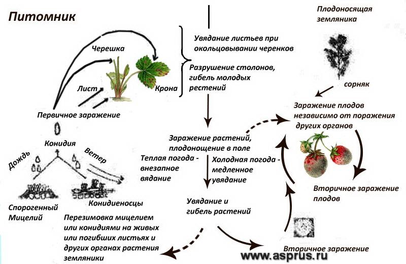 Цикл развития возбудителя антракноза земляники