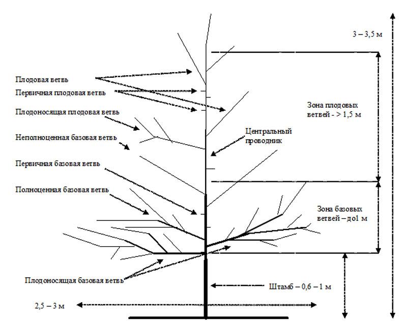 Схема структуры плодового