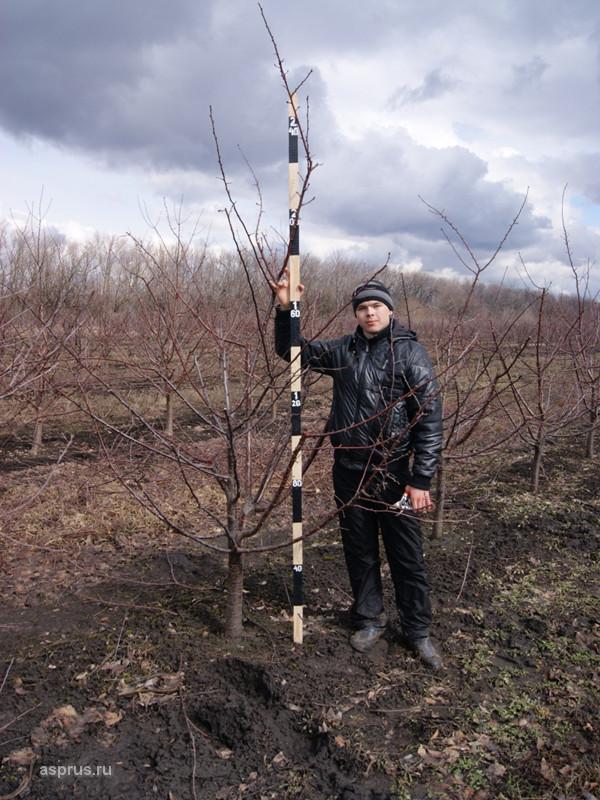 При выкапывании деревьев около